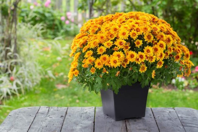 Florist and Hardy Mums